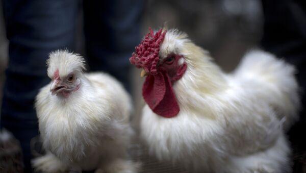 A rooster and a hen - Sputnik France