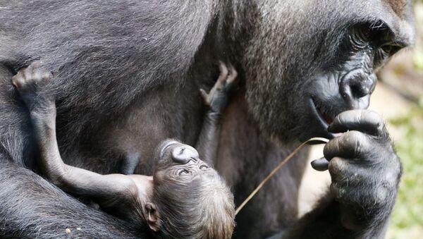 Gorille, image d'illustration - Sputnik France