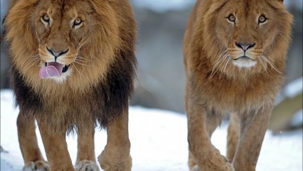 Lionnes androgènes au Botswana - Sputnik France