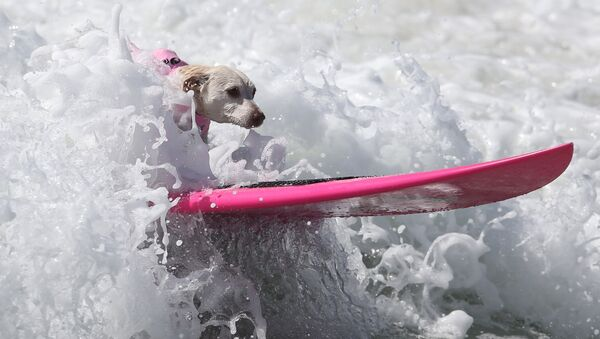 A dog rides a wave during the Surf City Surf Dog competition in Huntington Beach, California, U.S., September 25, 2016 - Sputnik France