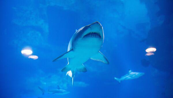 Haifisch im Moskauer Ozeaneum - Sputnik France