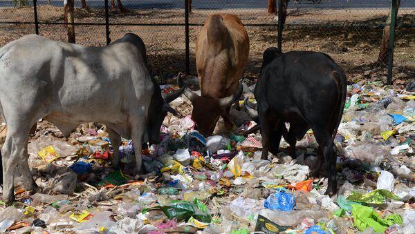 Des vaches dans un tas de déchets situé au bord d'une route à Gandhinagar, en Inde - Sputnik France