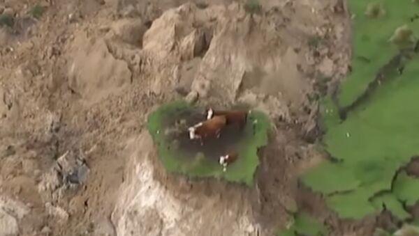 Les vaches coincées en Nouvelle-Zélande - Sputnik France