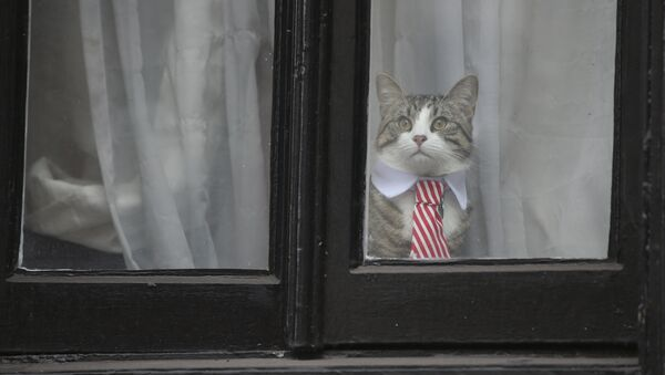A cat named 'James' wearing a collar and tie looks out of the window of the Ecuadorian Embassy in London on November 14, 2016 where WikiLeaks founder Julian Assange was being questioned over a rape allegation against him. - Sputnik France