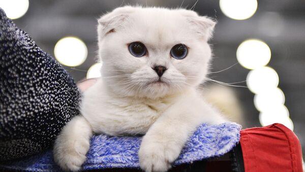 Les plus beaux chats de Russie - Sputnik France