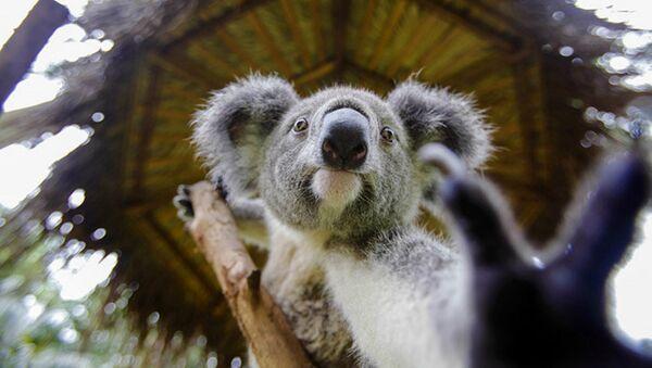 Un Australien vient au secours d'un koala qui se noie - Sputnik France
