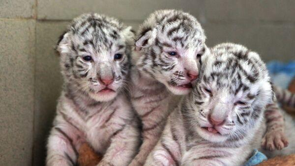 Des «mousquetaires» rayés. Trois petits tigres blancs nés dans un zoo de Crimée - Sputnik France