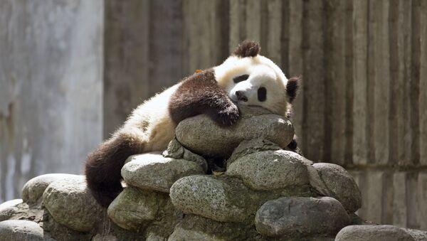 Un panda géant - Sputnik France