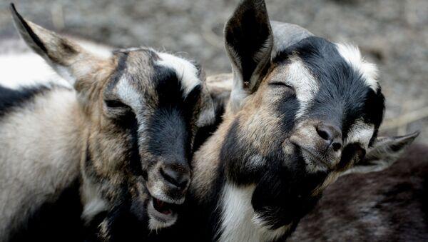 Des chèvres - Sputnik France