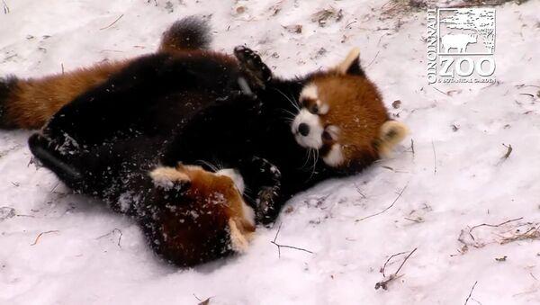 Des pandas éclatants s'amusent dans la neige - Sputnik France