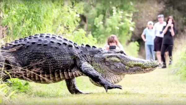 Un alligator qui traverse un chemin devient une vedette en Floride - Sputnik France