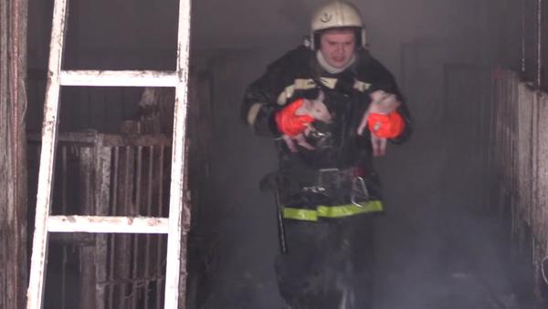 Plus de 150 cochonnets sauvés par des pompiers russes - Sputnik France