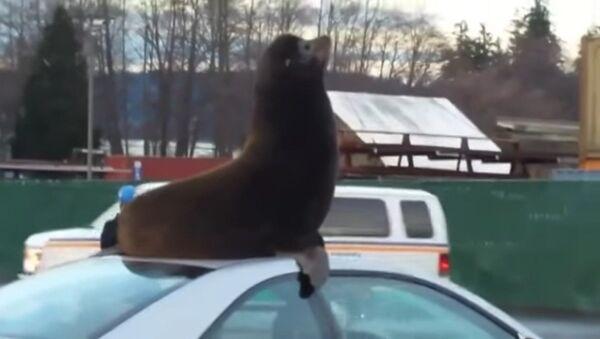 Un lion de mer prend d'assaut une voiture - Sputnik France