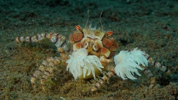 Les crabes-boxeurs se volent l'un l'autre leurs «gants» vivants - Sputnik France