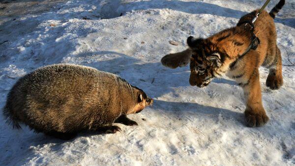 Tigre et grisard - Sputnik France
