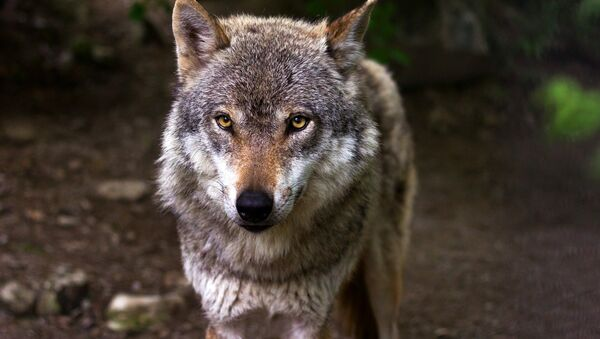 Wolf - Sputnik France