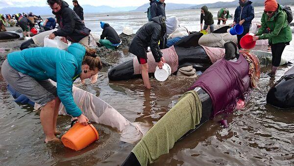 Des centaines de baleines-pilotes s'échouent en Nouvelle-Zélande - Sputnik France