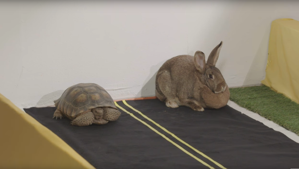 Lièvre vs. tortue: la course qui a captivé des millions d'internautes - Sputnik France