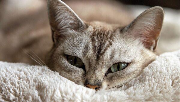 Le chat - Sputnik France