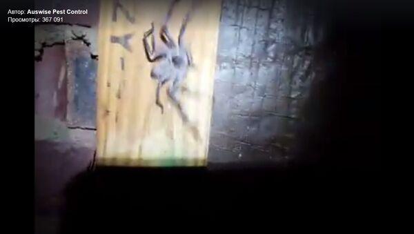 Une gigantesque araignée retrouvée dans un grenier en Australie (vidéo) - Sputnik France