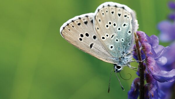 Effet papillon: un collectionneur UK accusé d'avoir tué un insecte d'une extrême rareté - Sputnik France