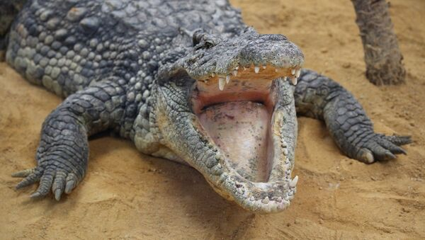 Un crocodile - Sputnik France