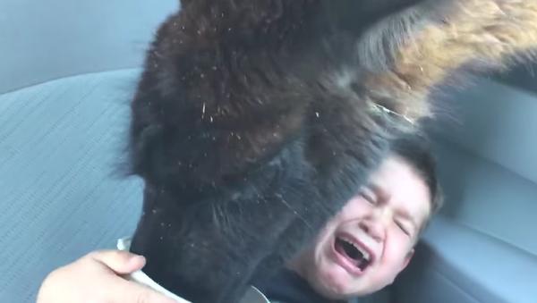 Il voulait appâter un lama, mal lui en a pris! - Sputnik France