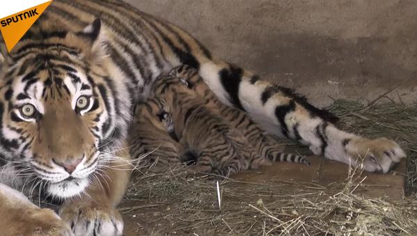 Trois bébés tigres de Sibérie sont nés dans la réserve naturelle Taigan en Crimée - Sputnik France