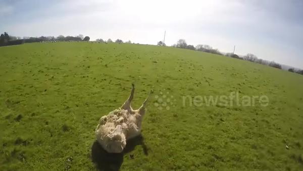 Un cycliste-héros aide un mouton en détresse - Sputnik France