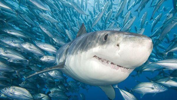 Le requin, cet assassin parfait, est le maître des mers et des océans. - Sputnik France
