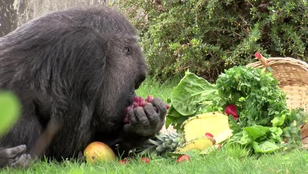 La plus vieille femelle gorille a soufflé ses soixante bougies - Sputnik France