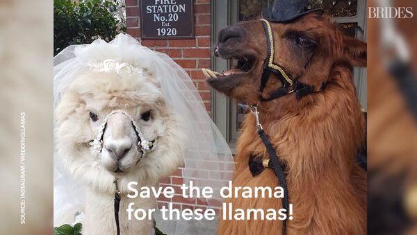 Lorsqu'on a marre des gens… aux USA, on invite des lamas comme témoins au mariage - Sputnik France