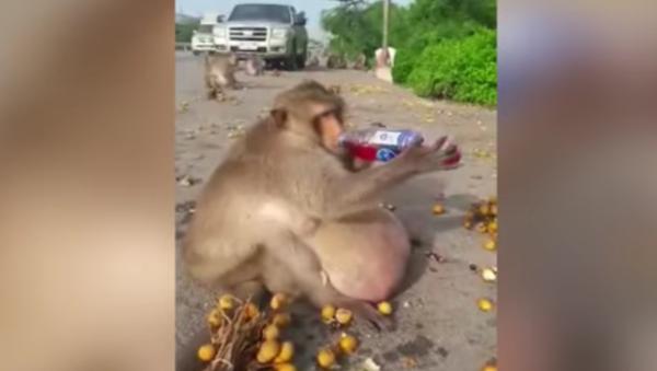 Ce singe a été envoyé dans un centre pour obèses! - Sputnik France