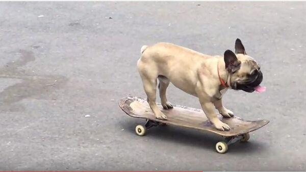 Un bouledogue percute le siège de la BBC en skateboard (vidéo) - Sputnik France