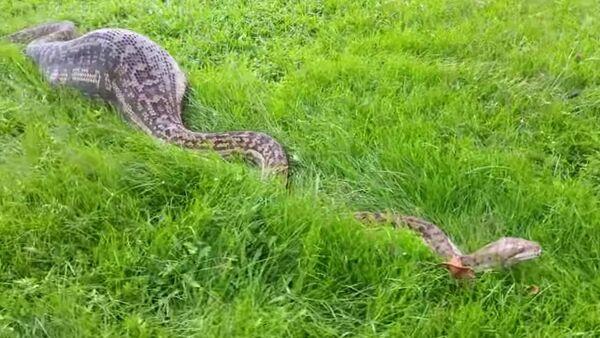 Un python géant avale un wallaby pour devenir… un crocodile - Sputnik France