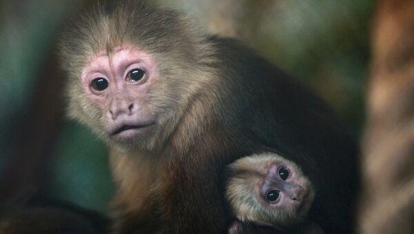В Екатеринбургском зоопарке родился детеныш обезьяны-капуцина - Sputnik France
