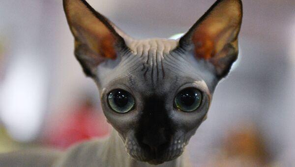 Un chat sphynx. Image d'illustration - Sputnik France