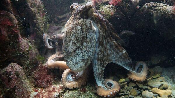 octopus - Sputnik France