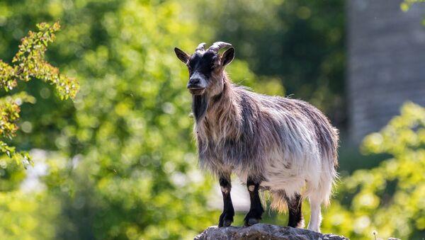 Une chèvre - Sputnik France