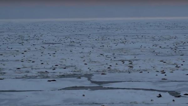 Invasion de phoques d'une plateforme pétrolière russe dans l'Arctique - Sputnik France