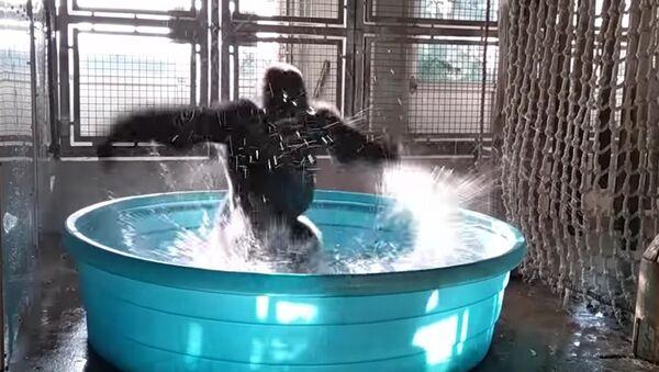 Pouvez-vous danser comme ça? Voici comment un gorille donne une leçon de breakdance! - Sputnik France
