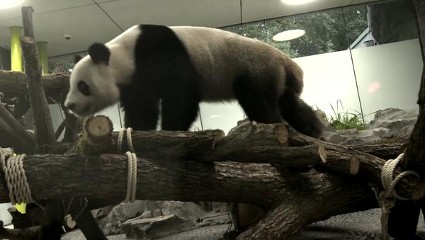 Deux pandas chinois retrouvent leur maison au zoo de Berlin - Sputnik France