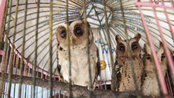 Дикие совы, пойманные браконьерами в Индонезии - Sputnik France