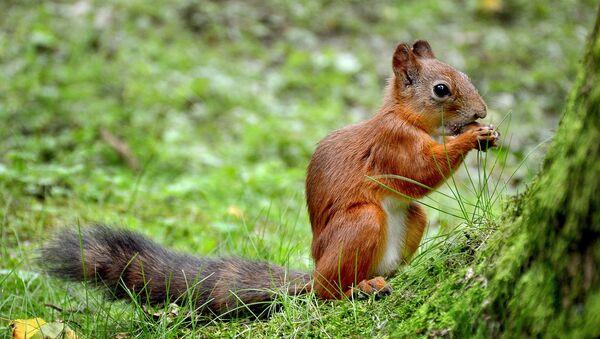 Un petit écureuil - Sputnik France