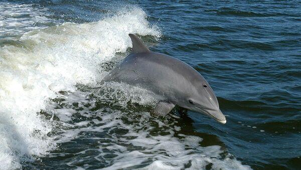 Le Mexique déploie des dauphins militaires US pour sauver des marsouins de l'extinction - Sputnik France