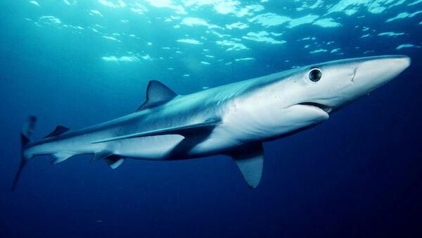 requin bleu - Sputnik France