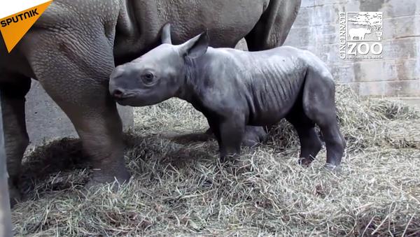 Si vous n'avez jamais vu un bébé rhinocéros âge de seulement deux jours, le voilà! - Sputnik France