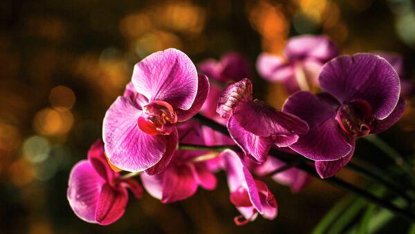 Une orchidée - Sputnik France