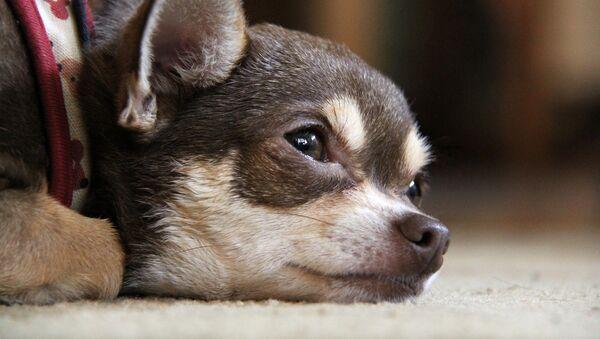 Un petit chien - Sputnik France