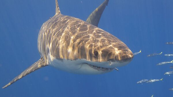 Tiburón blanco - Sputnik France